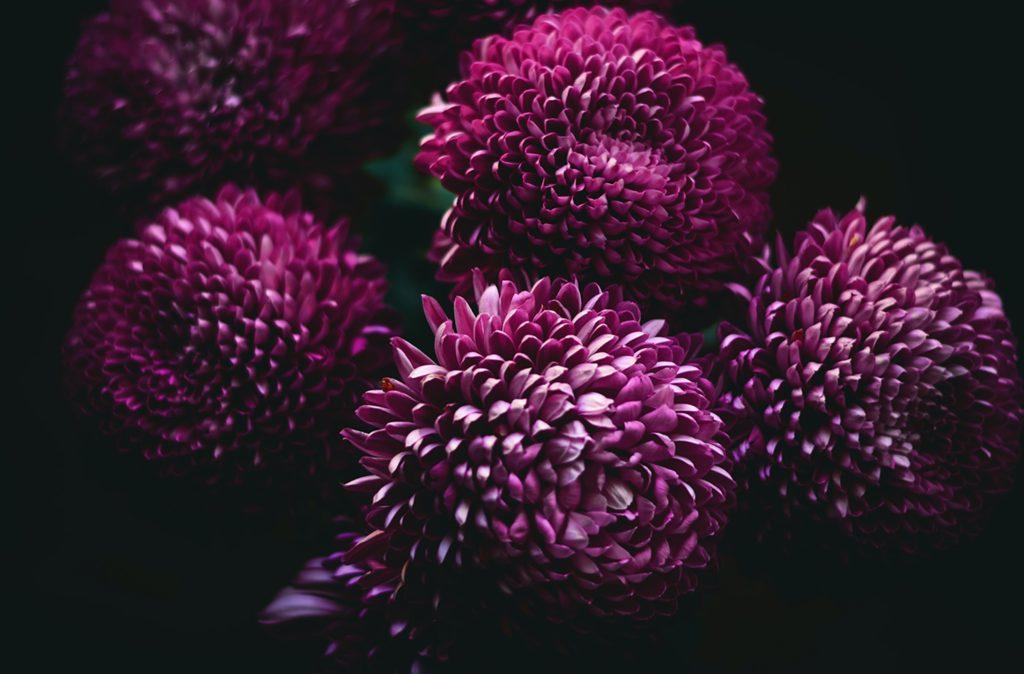 chrysanthèmes violettes pour la Toussaint